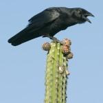 Palm Crow - Endemic