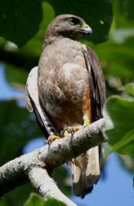 Ridgways Hawk