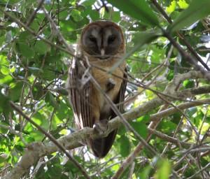 Ashy Faced Owl